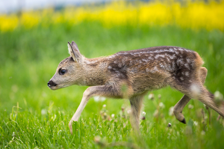 spotted fur: Young wild roe deer in grass, Capreolus capreolus. New born roe deer, wild spring nature.