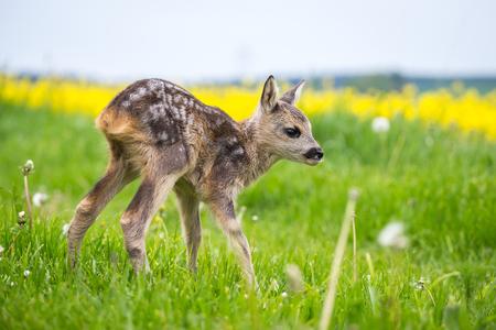 Junge Wildrogen im Gras, Capreolus capreolus. Neugeborenes Reh, wilde Frühlingsnatur.