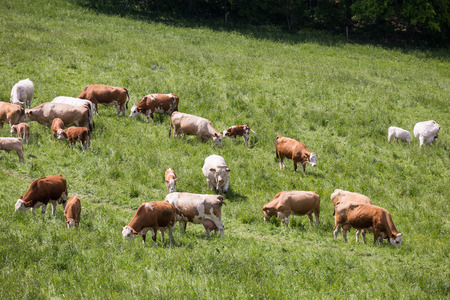 Cows and calves grazing on a spring meadow in sunny day
