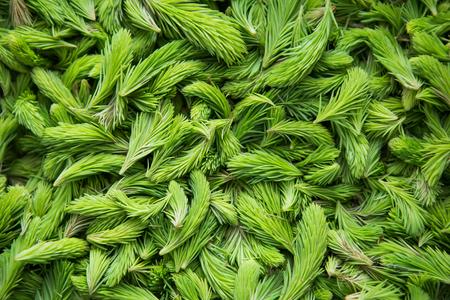 신선한 녹색 가문비 나무 싹. 봄에 가문비 나무 나무의 젊은 쏘고. 자연 녹색 배경입니다. 스톡 콘텐츠