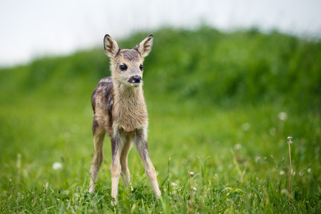 europeans: Young wild roe deer in grass, Capreolus capreolus. New born roe deer, wild spring nature.