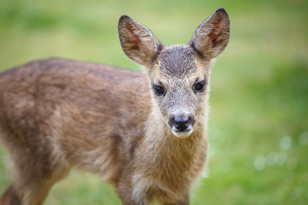Portrait of Roe Deer Fawn, Capreolus capreolus. Young wild Roe Deer fawn, young wild animal.