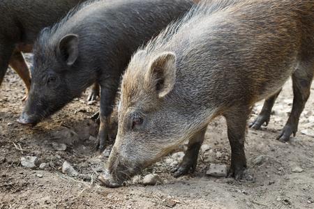 Wild boar herd Stock Photo