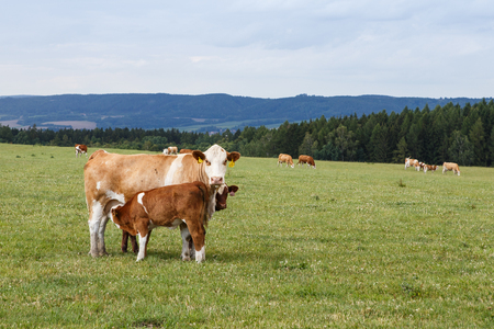 Cows and calves grazing on a green meadow in sunny day, Farm animals.