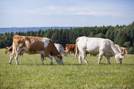 Herd of cows and calves grazing on a green meadow