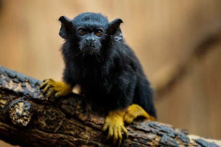 Golden handed Tamarin. Tamarin Saguinus midas sitting on branch. Wild life animal.