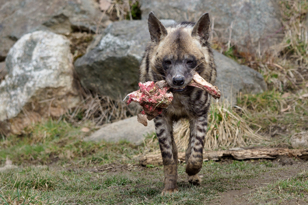 Spotted hyena (Crocuta crocuta) carries a piece of meat
