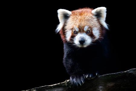 Portret van een rode panda (Ailurus fulgens) geïsoleerd op zwarte achtergrond Stockfoto