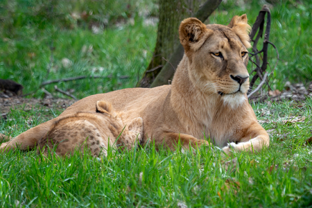 Lion mother with her young cubs. Congolese lion (Panthera leo bleyenberghi)