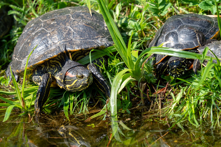 Turtles lying on the grass. Group of red-eared slider (Trachemys scripta elegans) in pond. Stock Photo
