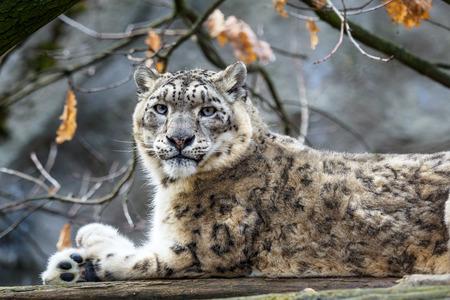 Snow leopard - Irbis (Panthera uncia). 스톡 콘텐츠