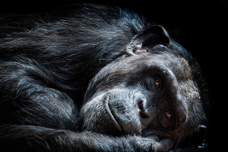 Portrait of the chimpanzee (Pan Troglodytes)