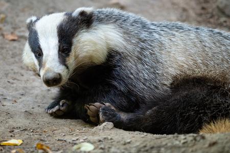 Badger near of the hole. European badger (Meles meles)