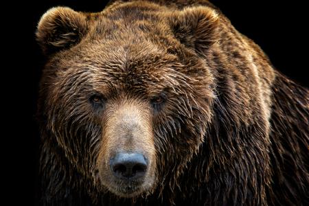 Vista frontal del oso pardo aislado sobre fondo negro. Retrato de oso de Kamchatka (Ursus arctos beringianus)
