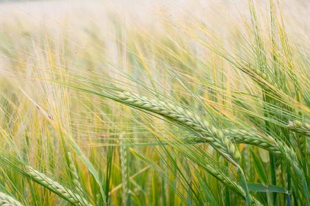 Wheat field. Green ears of wheat on the field. Background of ripening ears of meadow wheat field. Rich harvest Concept