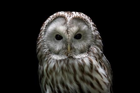 Ural owl (Strix uralensis). Nocturnal owl on black background