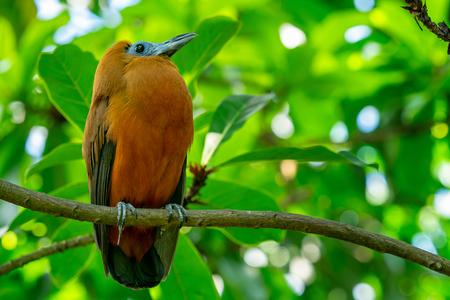 Tropical bird capuchinbird or calfbird (Petrocephalus tricolor) in the rainforest