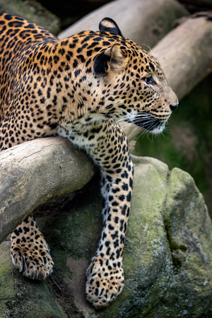 Ceylon leopard, Panthera pardus kotiya, Big spotted cat 版權商用圖片