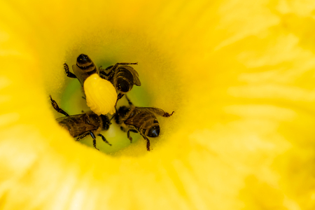 Flower of zucchini with bees. Pollination of flowers.