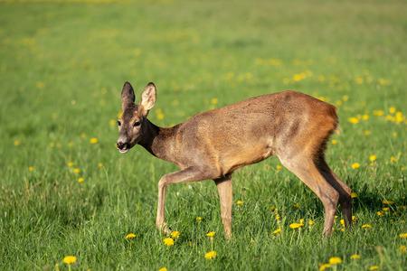 Roe deer in grass, Capreolus capreolus. Wild roe deer in spring nature. Stock Photo