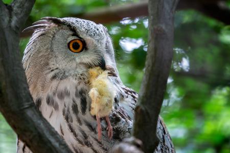 Siberian Eagle Owl with prey in the beak. Bubo bubo sibiricus, the biggest owl in the world.