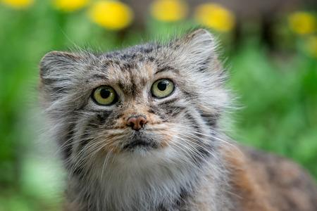 Manul or Pallas's cat, Otocolobus manul, cute wild cat from Asia. Foto de archivo