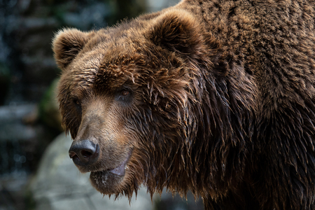 Front view of brown bear. Portrait of Kamchatka bear (Ursus arctos beringianus)