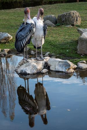 Marabou Stork (Leptoptilos crumeniferus) is a large wading bird in the stork family Ciconiidae. Stock Photo