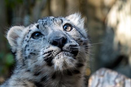 Kitten of snow leopard - Irbis (Panthera uncia) watches the neighborhood.