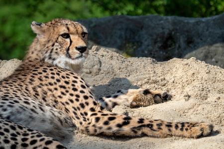 Cheetah portrait (Acinonyx jubatus) lying down in the sand Stock Photo