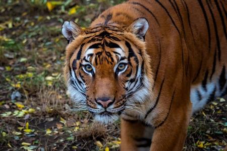 Portrait of Malayan tiger Panthera tigris jacksoni