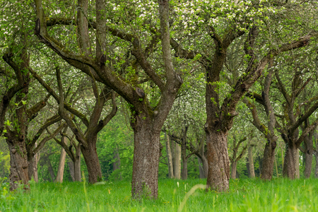 Cherry orchard. Tree trunk cherry in a row. Cherry trees alley. Stok Fotoğraf