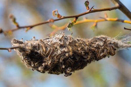 Caterpillar larvae, Brown tail caterpillars on tree 版權商用圖片