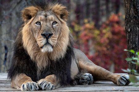 Asiatic lion (Panthera leo persica). A critically endangered species. Reklamní fotografie