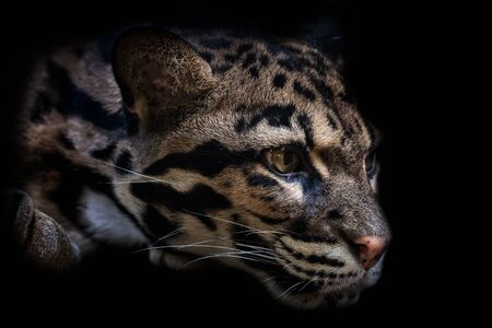 Portrait of beautiful Clouded Leopard isolated on black background.  Leopard cat on a darkness (Neofelis Nebulosa). Stock Photo