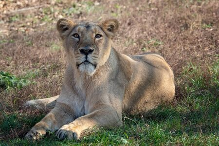 Asiatic lioness (Panthera leo persica). A critically endangered species.