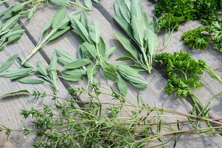 Drying fresh herbs and greenery for spice food on wooden desk background. Parsley leaves, sage and marjoram.