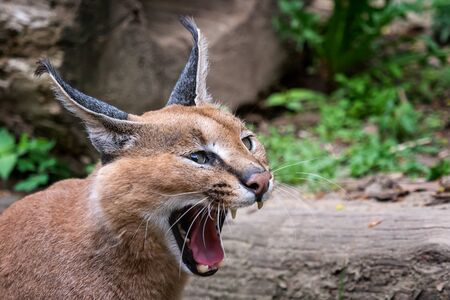 Portrait desert cats Caracal or African lynx with long tufted ears