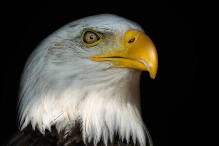 Portrait of a bald eagle (Haliaeetus leucocephalus) with an open beak isolated on black background