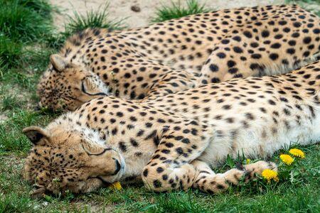 Two Cheetah Cats sleeping in the grass, Acinonyx Jubatus.
