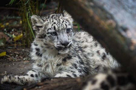 Snow leopard cub (Panthera uncia). Young snow leopard. Stock Photo