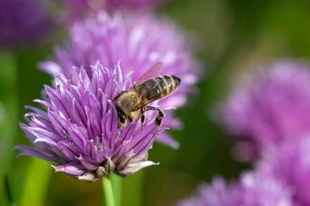 Honey bee collecting nectar from chives plant blossom. 