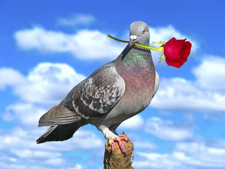 Pigeon with red rose. photo