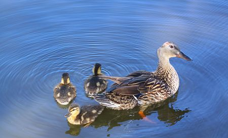 Mother with three baby ducks. Stock Photo