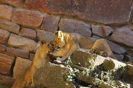 Lion cubs playing. photo