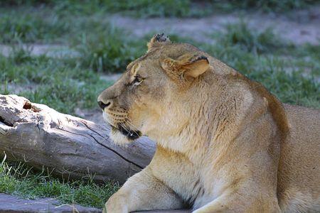 Lioness resting. photo