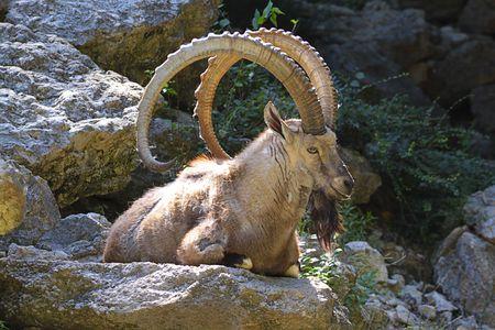 capricornio: Mouflon descanso