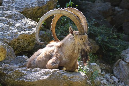 Mouflon resting