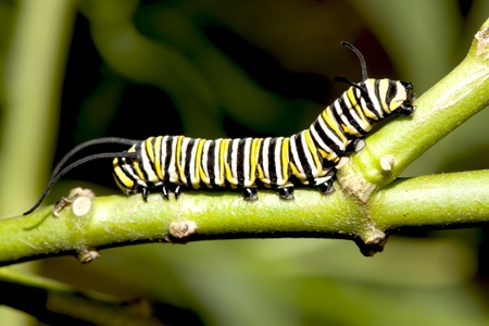 Caterpillar closeup.