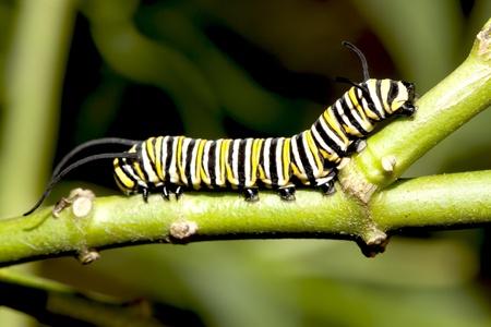 Caterpillar close-up. Stockfoto